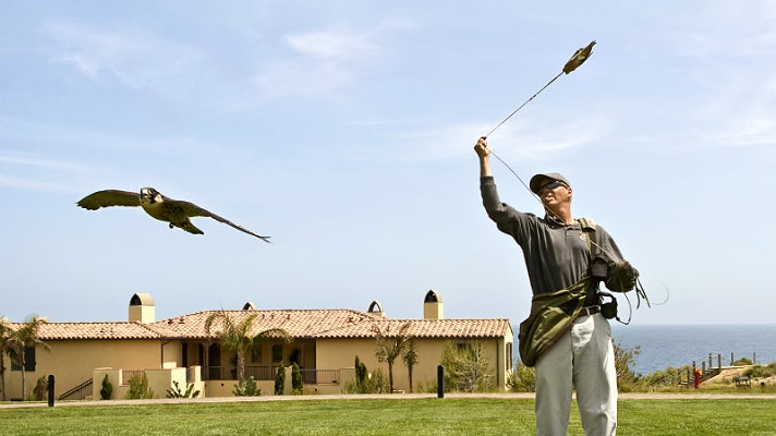 Falcon in flight at Terranea Resort