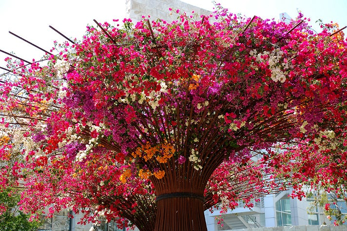 Bougainvillea in the Central Garden at the Getty Center